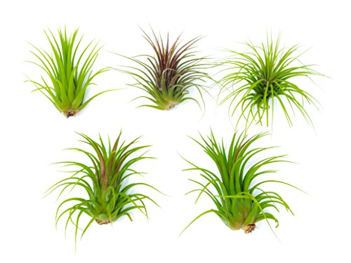 Each 2 5 to 4 inches long live tropical house plants for for Indoor decorative live plants